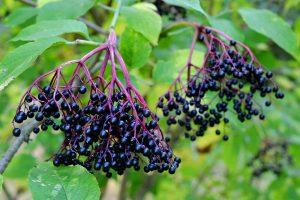 Bezinky - plody bezu černého